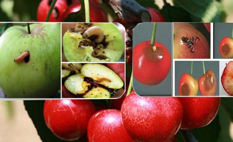 Kiraz sineği ve elma iç kurdu ile mücadele zamanı geldi