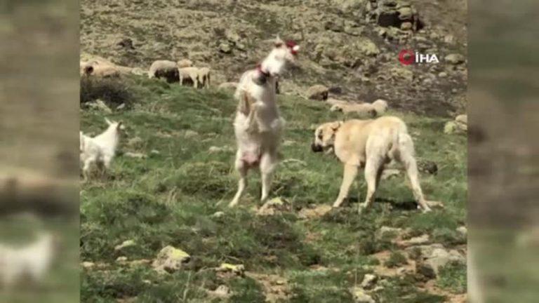 Çoban köpeği ile kafa tokuşturan keçi