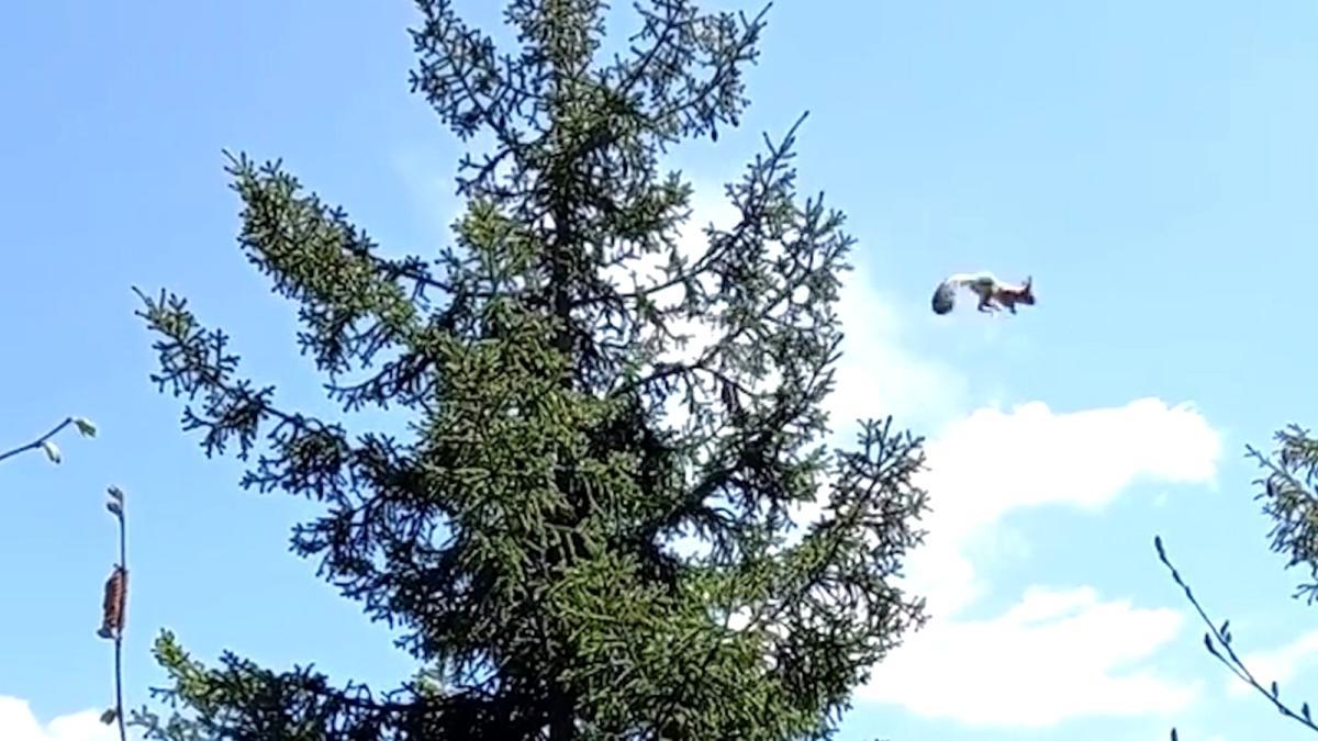 Gümüşhane de ağaçtan ağaca uçan sincap cep telefonu kameralarına takıldı